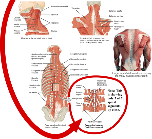 Muscles of the spine; 3 layers – superficial, intermediate, and deep