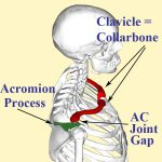 Labelled illustration of acromioclavicular joint between collar bone and acromion process